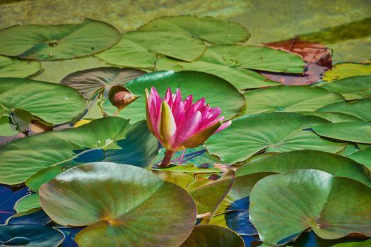 Заводь с лилиями · бесплатное фото