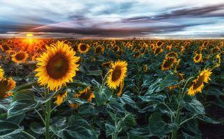 Бесплатные фото закат,поле,цветы,флора,подсолнухи,небо,пейзаж