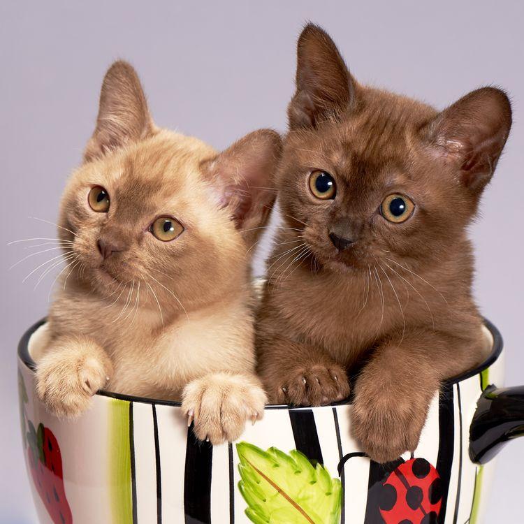 Фото бесплатно Бурманская кошка, кошка, котенок, кот, милый, домашнее животное, животные, пара, котята, порода бурма, кошки