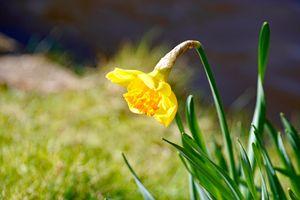 Бесплатные фото цветок,рыжий,нарцисс,растение,цветущее растение,крупным планом,трава