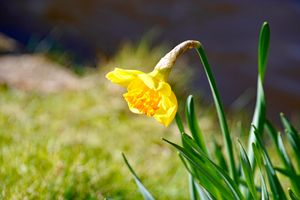 Photo free flower, red, Narcissus