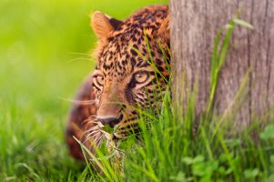 Заставки поза, леопард, взгляд