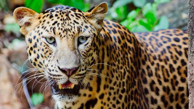 Бесплатная картинка хищник, леопард портрет