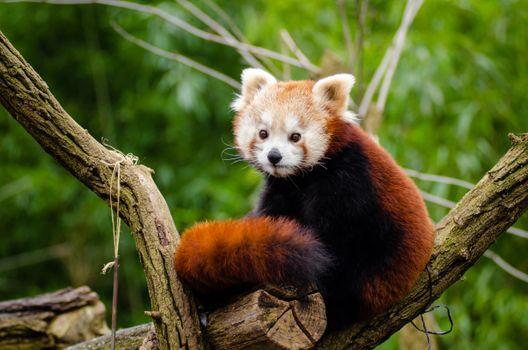 Фото бесплатно красная панда, Red Panda, Zoo