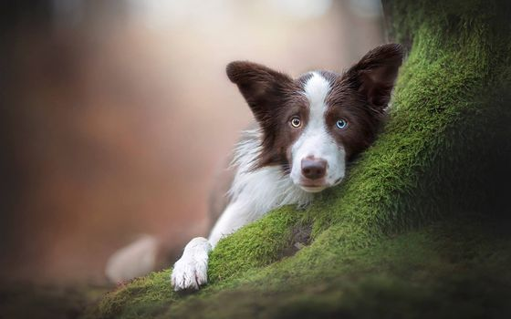 Заставки собака, гетерохромия, лежа