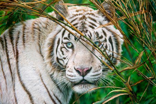 Фото бесплатно тигр тигры, природа, лицо