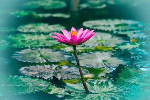 Бесплатные фото водяная лилия,водоём,цветок,флора