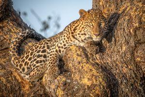 Фото бесплатно Леопард, африканский леопард, животное