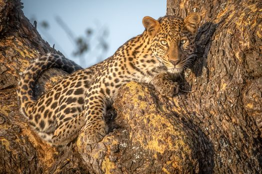 Заставки African leopard, Panthera, леопард