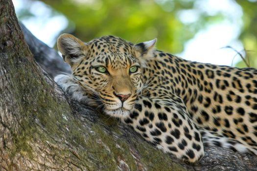 Заставки леопард, хищник, на дереве