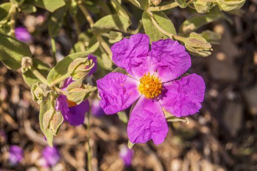 Бесплатные фото растение,цветок,пурпурный,лепесток,весна,розовый,флора,дикий цветок,кустарник,цветущее растение,розовая семья,травянистое растение