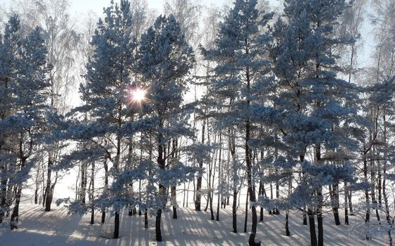 Trees in the snow and sunlight · free photo