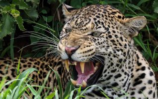 Заставки леопард, хищник, животное, оскал, большая кошка