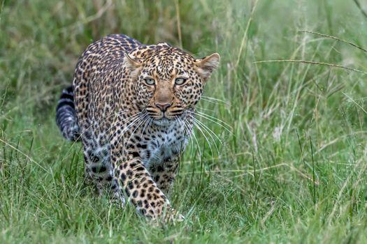Заставки леопард, пятнистый, красивый