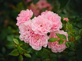 Фото бесплатно роза, ветка, розы