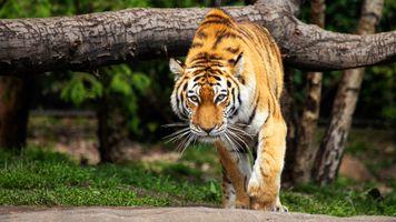 Взгляд крадущегося тигра · бесплатное фото