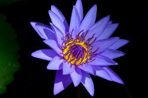 Фиолетовая лилия