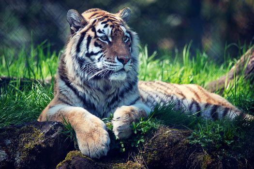 Photo free animal, posture, tiger