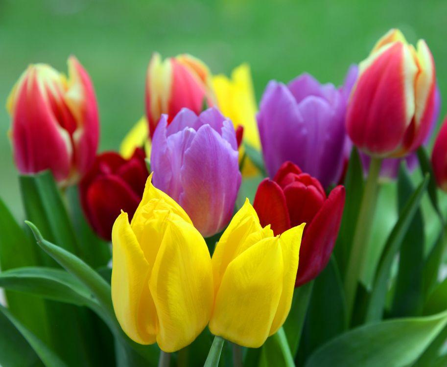 Тюльпаны разных цветов · бесплатная заставка