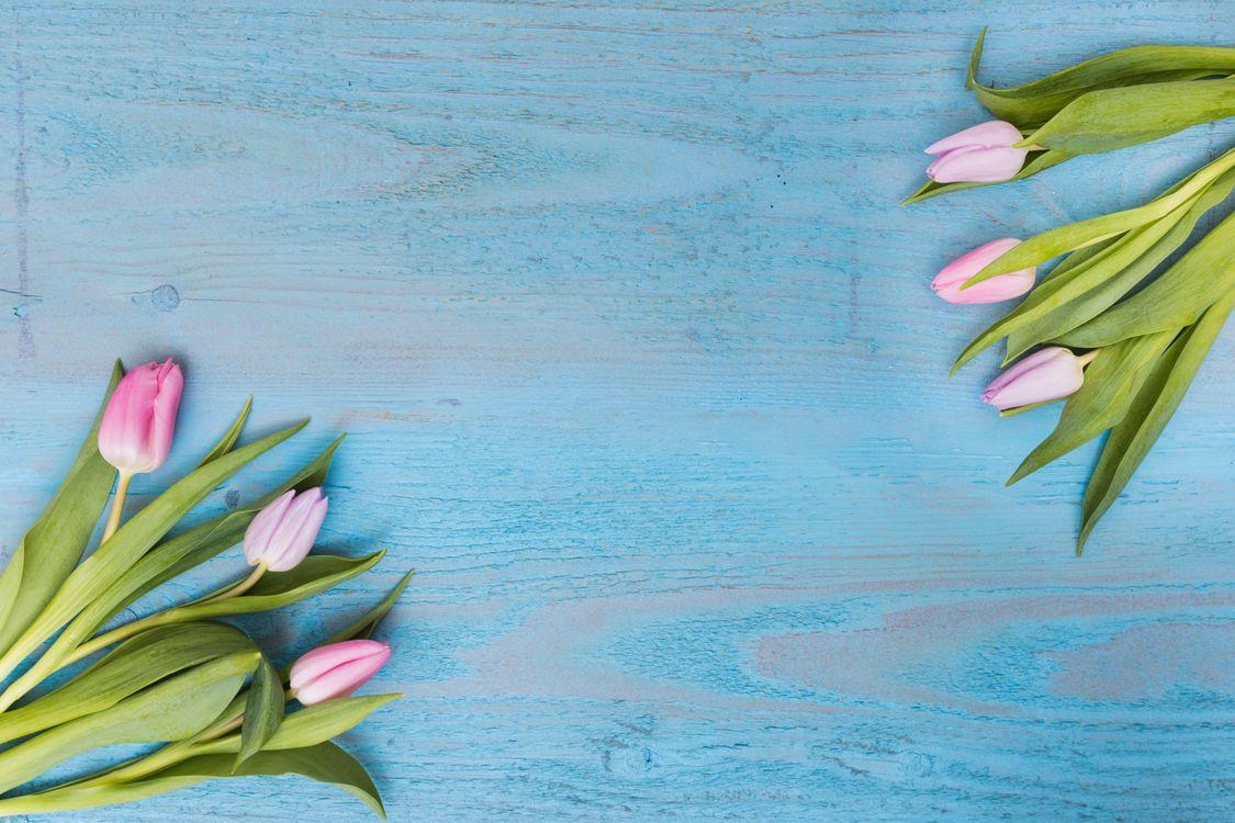Фото бесплатно цветы, тюльпаны, голубой фон, флора, цветы