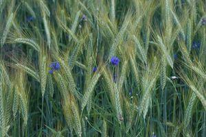 Бесплатные фото поле,колосья,цветы,васильки,флора,макро,природа