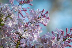 Фото бесплатно сирень, цветы, макро