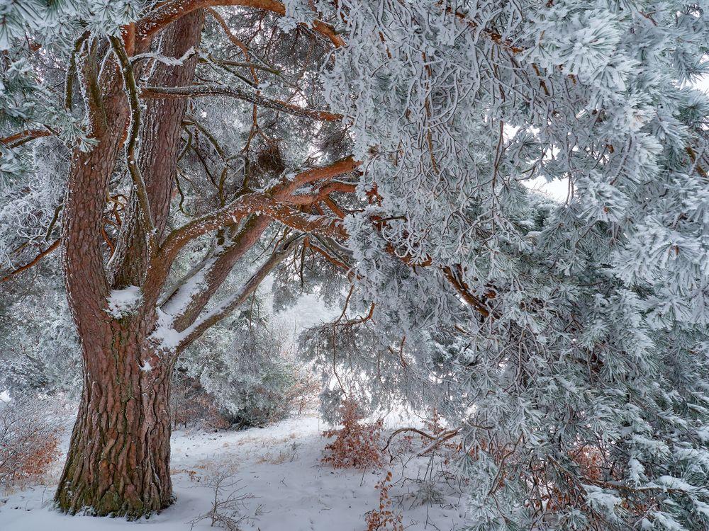 Фото бесплатно зима, лес, дерево, сосна, снег, природа, пейзаж, пейзажи