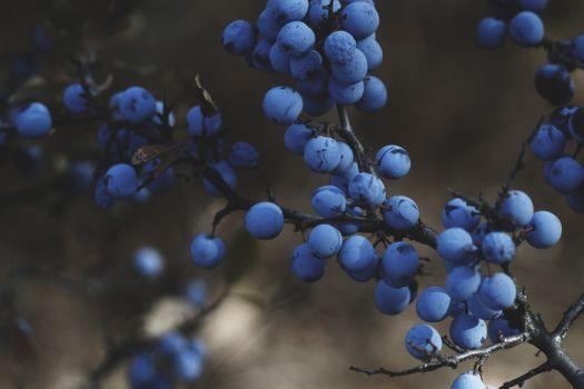 Фото бесплатно виноградное дерево, растение, виноград, ферма, фрукты, ягода, цветок, пища, производить, черника, синий, флора