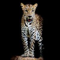 Заставки леопард, портрет леопарда, кошачьи
