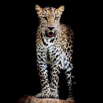 Photo free leopard, Leopard portrait, felines