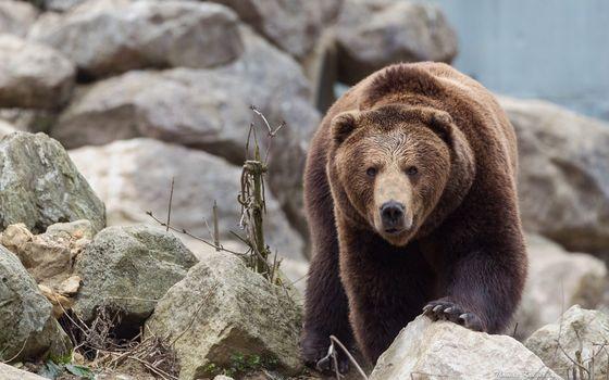 Фото бесплатно животные, медведи, рок