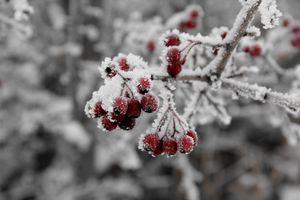 Фото бесплатно рябина, ветки, мороз, иней, ягоды