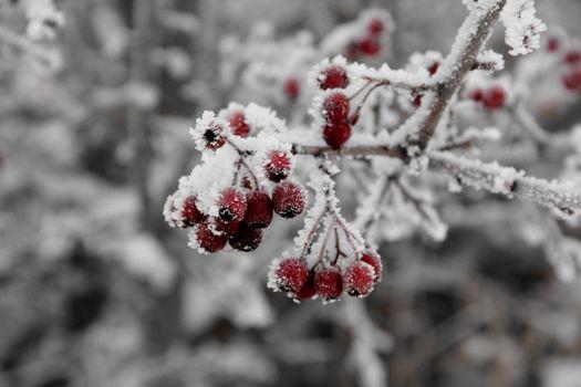 Фото бесплатно рябина, ветки, мороз