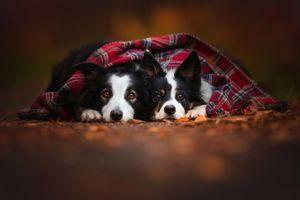Две собаки под уютным пледом