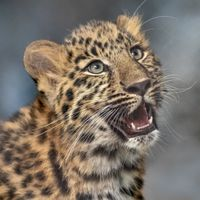 Цвет леопарда