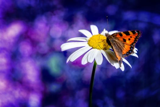 Фото бесплатно бабочка на цветке, ромашка, цветок