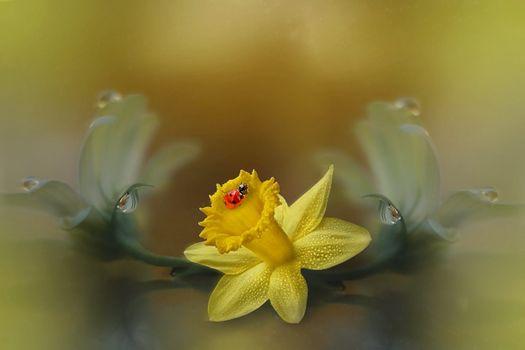 Фото бесплатно божья коровка, цветок, Нарцисс