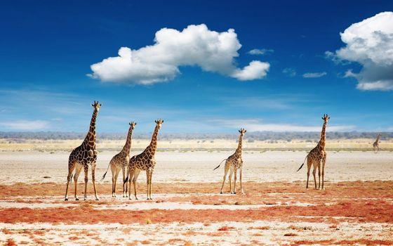 Фото бесплатно жирафы, животные, облака