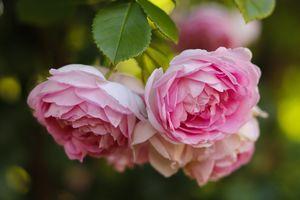 Фото бесплатно цветочные, роза, флора