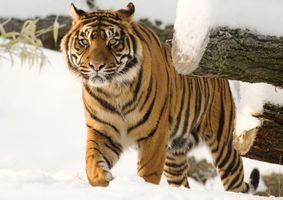 Тигр посетил лесорубов