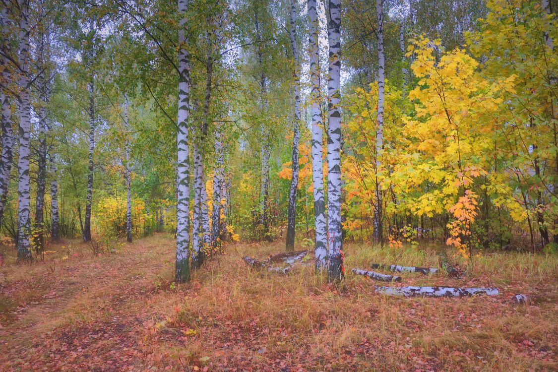 Фото бесплатно осень, березы и клен, трава, лес, деревья, парк, осенние краски - на рабочий стол