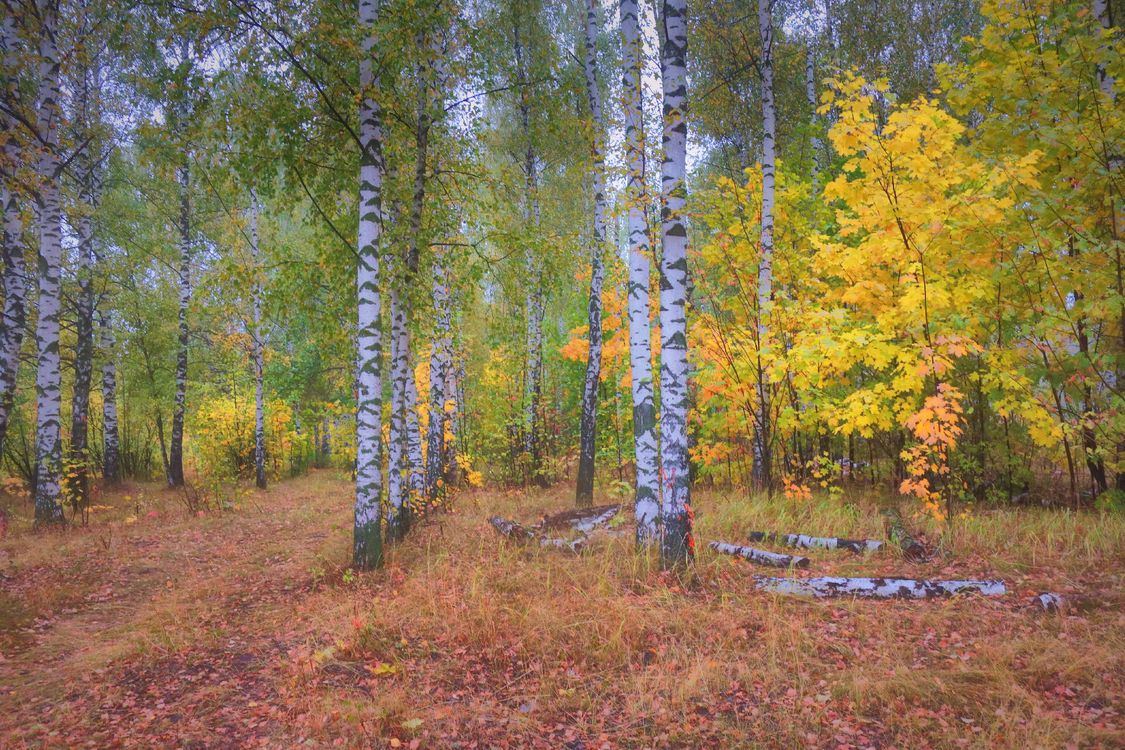 Обои осень, березы и клен, трава картинки на телефон