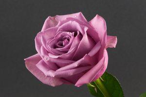 Роза на сером фоне