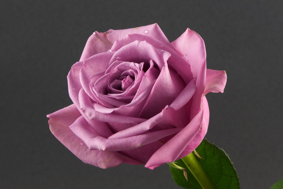 Роза на сером фоне · бесплатное фото