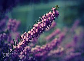 Фото бесплатно вереск, цветы, цветок