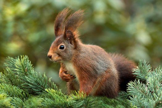 Squirrel closeup · free photo