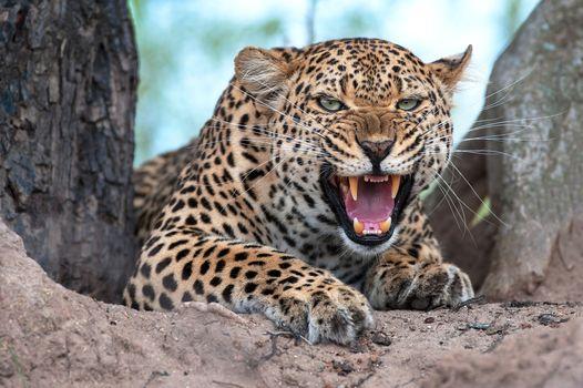 Фото бесплатно животное, хищник, челюсть