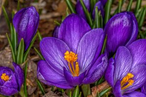 Заставки крокусы, цветы, цветок