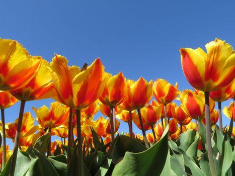 Желтые тюльпаны на фоне ясного неба · бесплатное фото