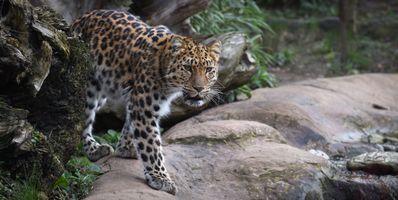 Фото бесплатно смотрите, хищник, дальневосточный леопард